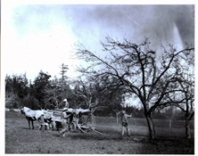 apple feature Waldrip orchard 1914