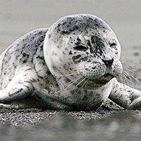 harbor-seal-pupFEAT